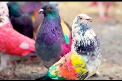 Belgian Racing Pigeon Sells for Over $400k